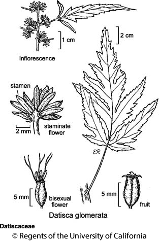 botanical illustration including Datisca glomerata