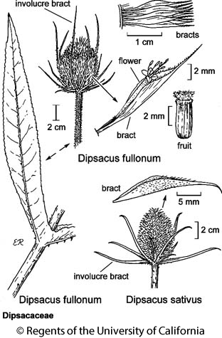 botanical illustration including Dipsacus sativus