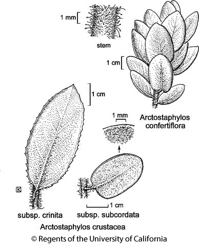 botanical illustration including Arctostaphylos confertiflora