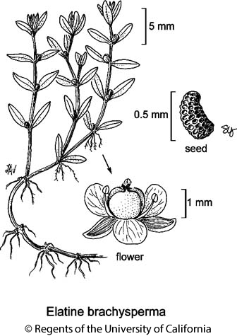 botanical illustration including Elatine brachysperma