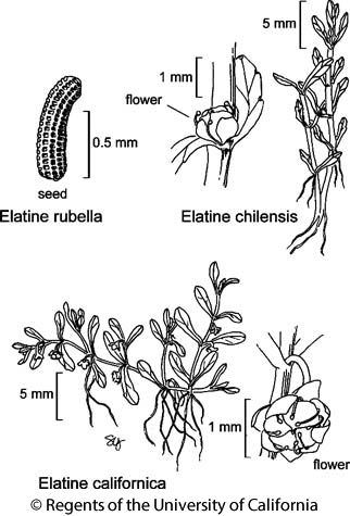 botanical illustration including Elatine chilensis