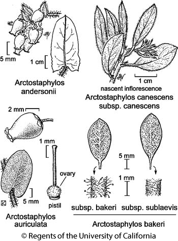 botanical illustration including Arctostaphylos bakeri subsp. sublaevis