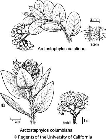 botanical illustration including Arctostaphylos catalinae