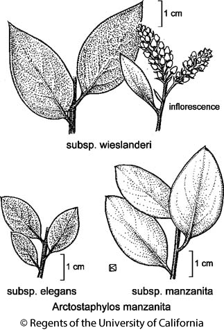 botanical illustration including Arctostaphylos manzanita subsp. manzanita