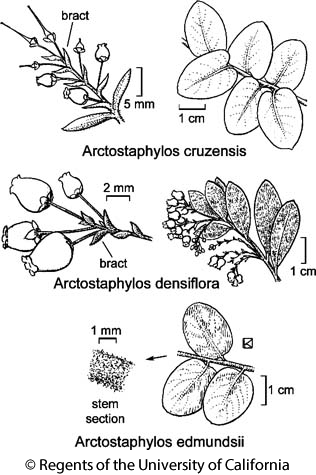 botanical illustration including Arctostaphylos densiflora