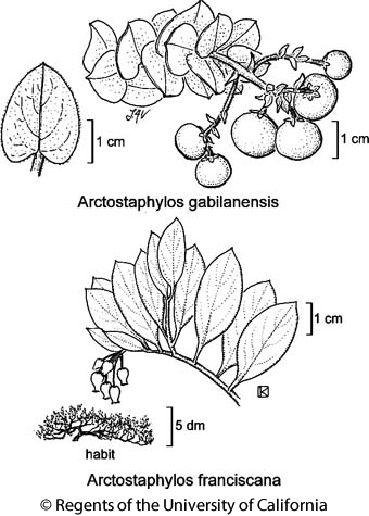 botanical illustration including Arctostaphylos franciscana