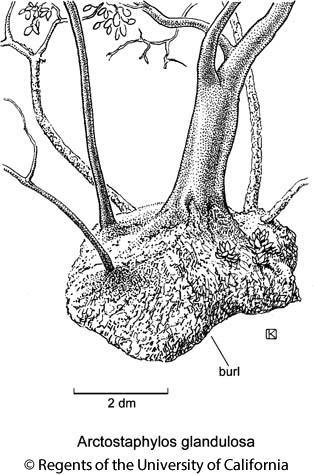 botanical illustration including Arctostaphylos glandulosa