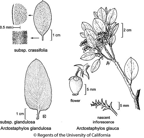 botanical illustration including Arctostaphylos glandulosa subsp. crassifolia