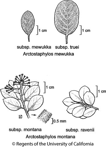 botanical illustration including Arctostaphylos mewukka subsp. truei