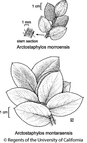 botanical illustration including Arctostaphylos montaraensis