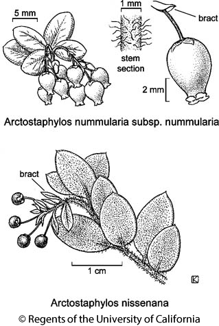 botanical illustration including Arctostaphylos nissenana