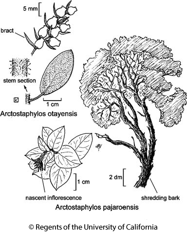 botanical illustration including Arctostaphylos pajaroensis