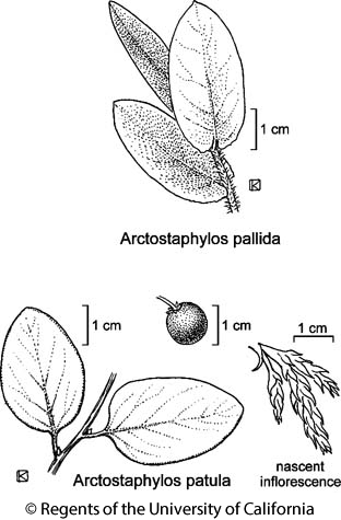 botanical illustration including Arctostaphylos patula