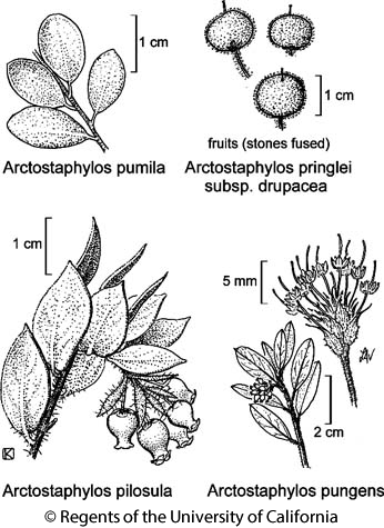botanical illustration including Arctostaphylos pungens