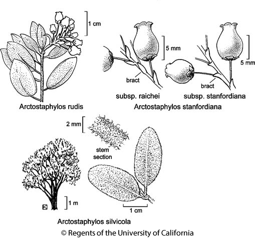 botanical illustration including Arctostaphylos rudis