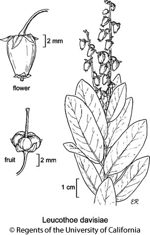 botanical illustration including Leucothoe davisiae