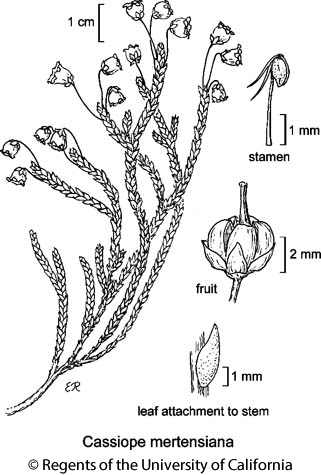 botanical illustration including Cassiope mertensiana