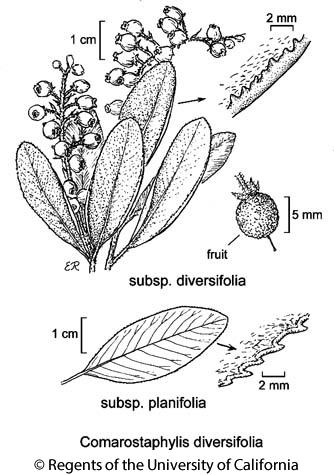 botanical illustration including Comarostaphylis diversifolia subsp. planifolia