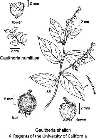 botanical illustration including Gaultheria humifusa