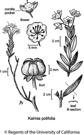 botanical illustration including Kalmia polifolia