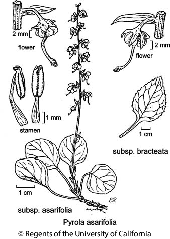 botanical illustration including Pyrola asarifolia subsp. bracteata