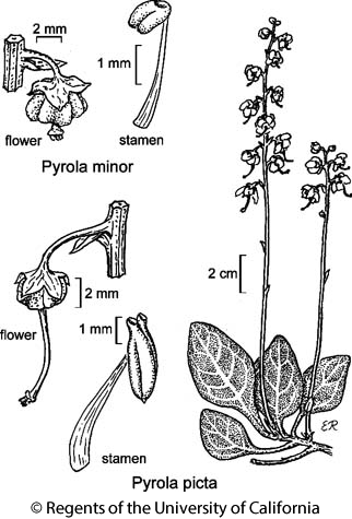 botanical illustration including Pyrola minor