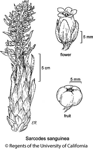 botanical illustration including Sarcodes sanguinea