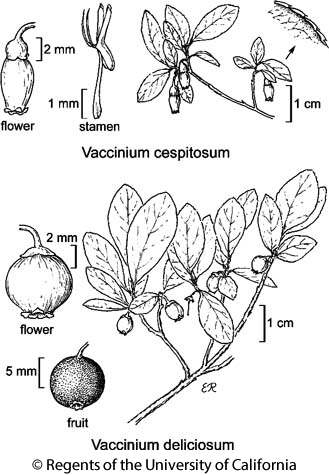 botanical illustration including Vaccinium cespitosum