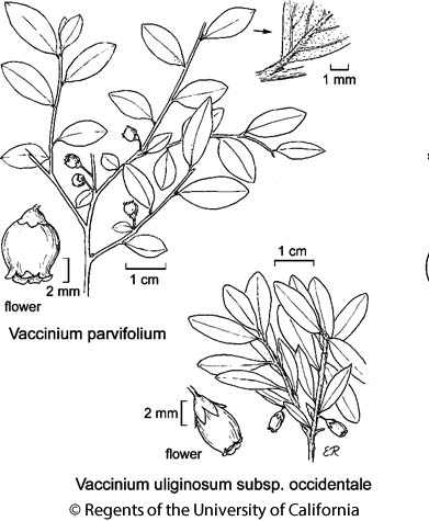 botanical illustration including Vaccinium parvifolium