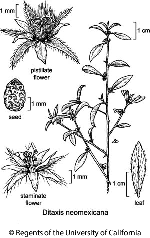 botanical illustration including Ditaxis neomexicana