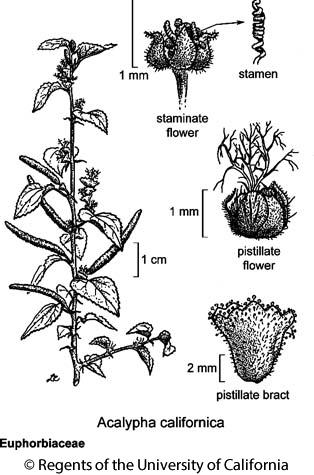 botanical illustration including Acalypha californica