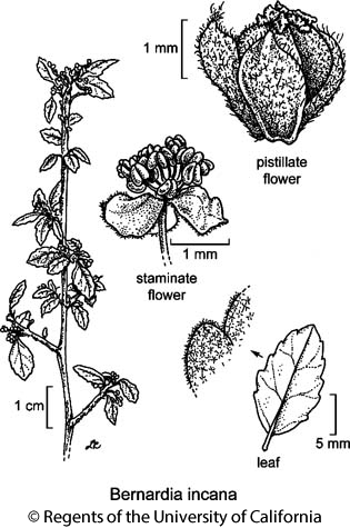 botanical illustration including Bernardia incana