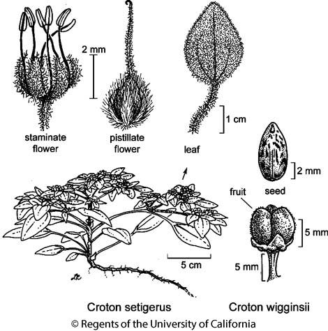 botanical illustration including Croton wigginsii