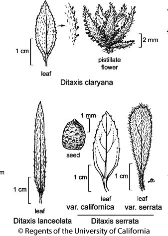 botanical illustration including Ditaxis lanceolata