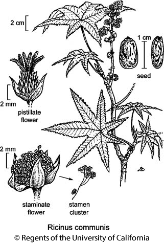 botanical illustration including Ricinus communis