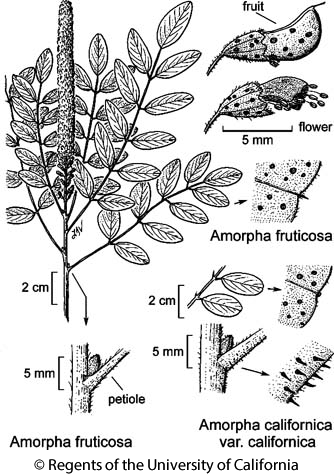 botanical illustration including Amorpha californica var. californica