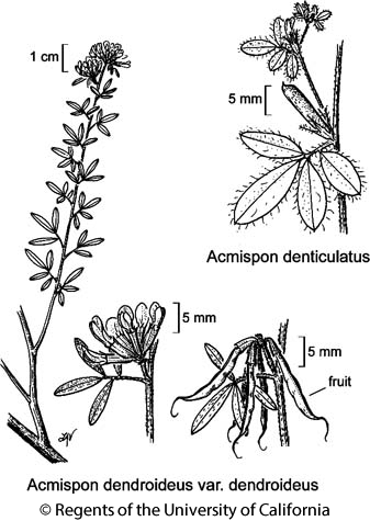 botanical illustration including Acmispon denticulatus