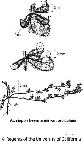 botanical illustration including Acmispon heermannii var. orbicularis