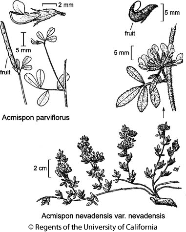 botanical illustration including Acmispon nevadensis var. nevadensis