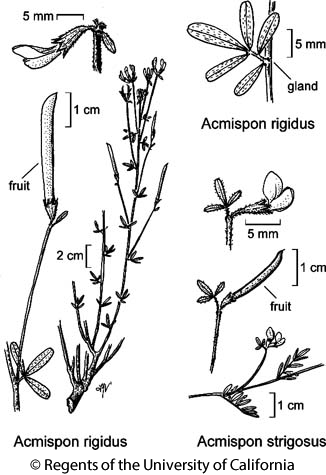botanical illustration including Acmispon strigosus