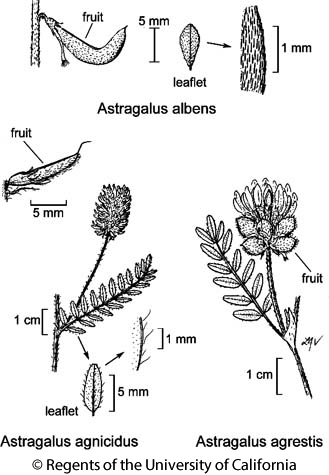 botanical illustration including Astragalus agrestis