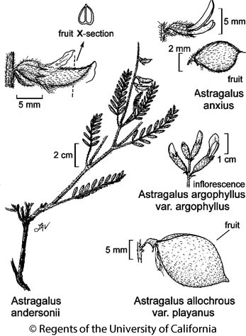 botanical illustration including Astragalus argophyllus var. argophyllus
