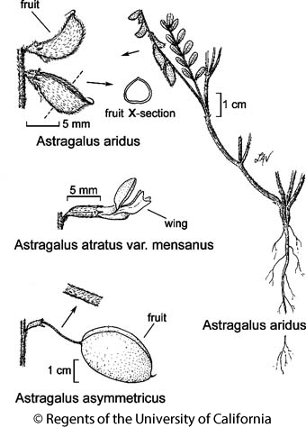botanical illustration including Astragalus aridus