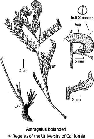 botanical illustration including Astragalus bolanderi