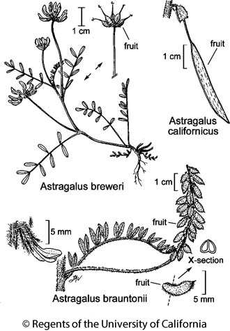 botanical illustration including Astragalus breweri