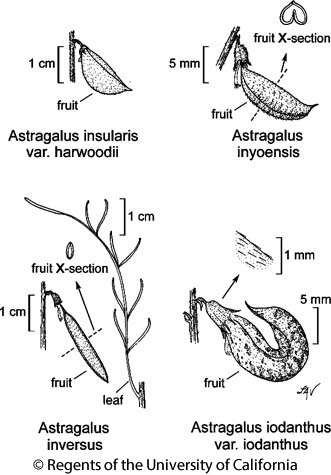 botanical illustration including Astragalus inversus