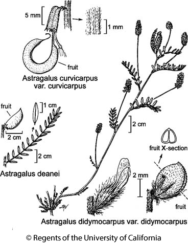botanical illustration including Astragalus deanei