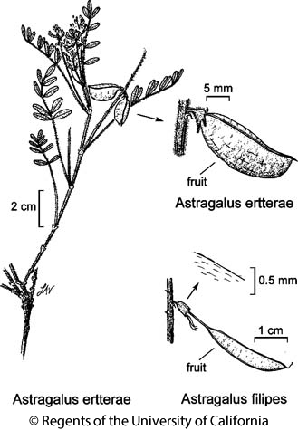 botanical illustration including Astragalus filipes