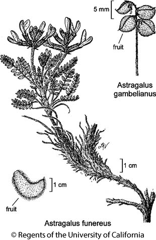 botanical illustration including Astragalus funereus
