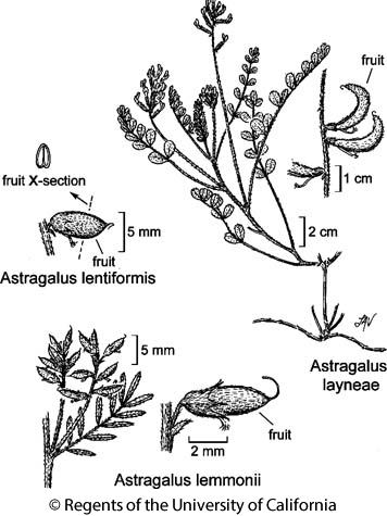 botanical illustration including Astragalus layneae